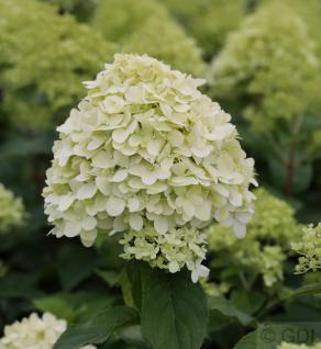 Hochstamm Rispenhortensie Limelight® 60-80cm - Hydrangea paniculata - Vorschau
