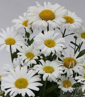 Wiesen Margerite Large White - großer Topf - Leucanthemum maximum - Vorschau