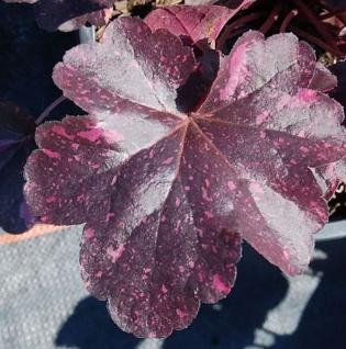 Purpurglöckchen Midnight Rose - großer Topf - Heuchera micrantha - Vorschau