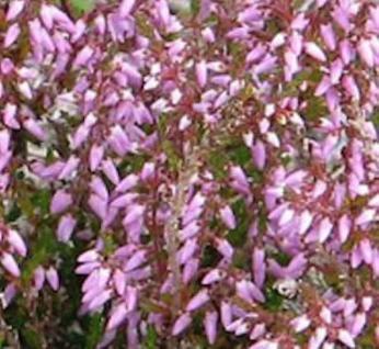 10x Besenheide County Wicklow - Calluna vulgaris - Vorschau