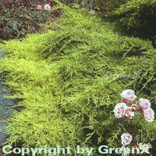 Goldener Strauchwacholder Gold Star 20-30cm - Juniperus media - Vorschau