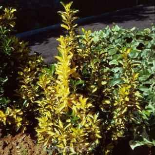 Japanischer Spindelstrauch Aureus 40-50cm - Euonymus japonicus - Vorschau