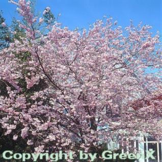 Rosa Winterkirsche 100-125cm - Prunus subhirtella - Vorschau