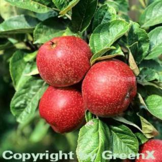 Apfelbaum Altländer Pfannkuchenapfel 60-80cm - süßsäuerlich - Vorschau