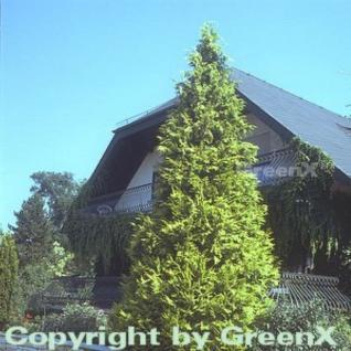 Gelbe Gartenzypresse Golden Wonder 80-100cm - Chamaecyparis lawsoniana - Vorschau