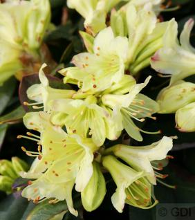 Zwerg Rhododendron Shamrock 15-20cm - Zwerg Alpenrose - Vorschau