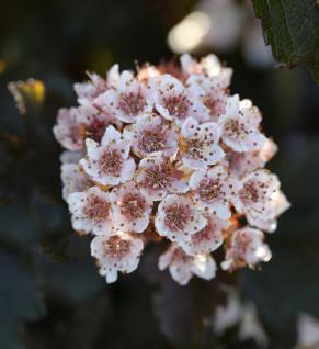 Fasanenspiere Summer Wine 60-80cm - Physocarpus opulifolius - Vorschau