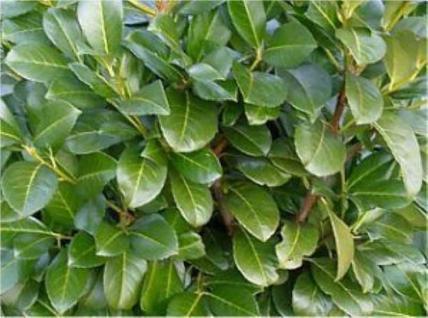 Portugiesischer Kirschlorbeer Myrtifolia 80-100cm - Prunus lusitanica - Vorschau