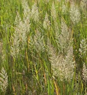 Blauknoten Reitgras - Calamagrostis canadensis - Vorschau