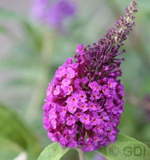 Schmetterlingsflieder Reve de Papillon Blue 60-80cm - Buddleja - Vorschau