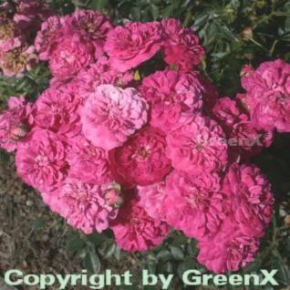 Hochstamm Rose Roxy 80-100cm - Vorschau