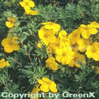 10x Kleiner Spierstrauch Goldteppich - Potentilla fruticosa - Vorschau