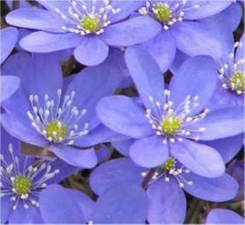 Leberblümchen - Hepatica nobilis - Vorschau