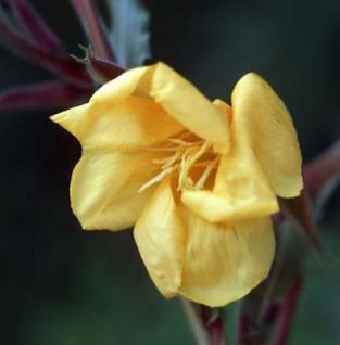 Duftende Nachtkerze - Oenothera odorata - Vorschau