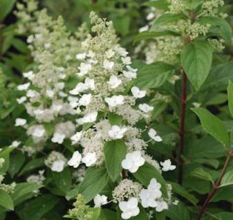 Rispenhortensie Levana® 40-60cm - Hydrangea paniculata - Vorschau