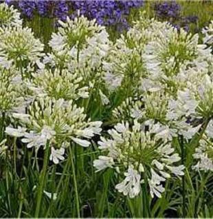 weiße Liebesblume Schmucklilie - Agapanthus africanus - Vorschau