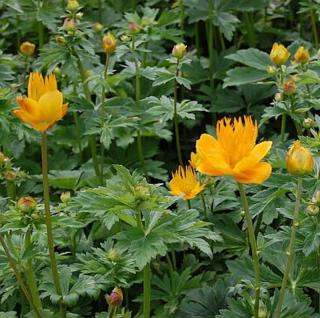 Trollblume Golden Queen - Trollius chinensis - Vorschau