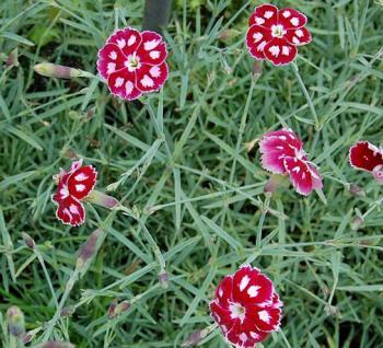 Federnelke Waithman´s Beauty - Dianthus plumarius - Vorschau