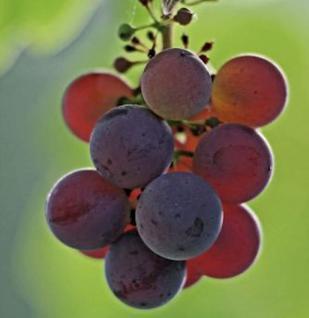 Weinrebe Erdbeertraube 80-100cm - Vitis - Vorschau