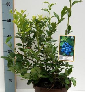 Heidelbeere Northland 30-40cm - Vaccinium corymbosum - Vorschau