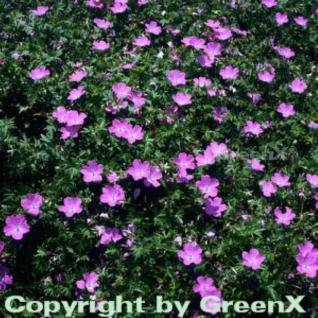 Storchenschnabel - Geranium sanguineum - Vorschau