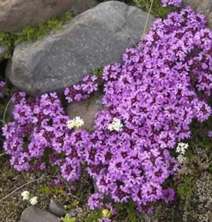 Polsterthymian Purple Beauty - Thymus praecox - Vorschau
