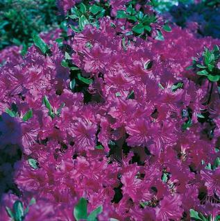 Japanische Azalee Königstein 20-25cm - Rhododendron obtusum - Alpenrose - Vorschau