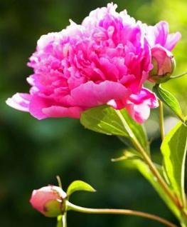 Edelpfingstrose Bunker Hill - Paeonia lactiflora - Vorschau