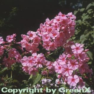 Hohe Flammenblume Dorffreude - Phlox Paniculata - Vorschau
