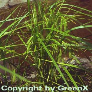 Scheinzypergras - Carex pseudocyperus - Vorschau