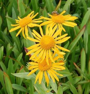 Sonnenbraut - Helenium hoopesii - Vorschau
