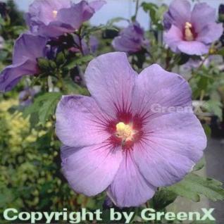 Hochstamm Garteneibisch Marina 60-80cm - Hibiscus - Vorschau