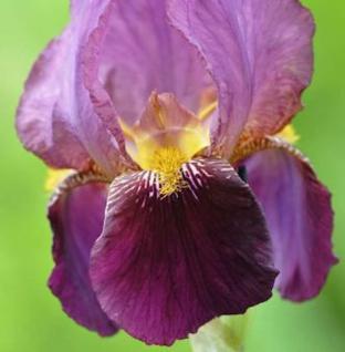Schwertlilie Senlac - Iris barbata - Vorschau