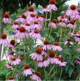 Sonnenhut Kims Knee High - Echinacea purpurea - Vorschau