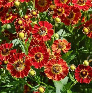 Sonnenbraut Königstiger - Helenium cultorum - Vorschau