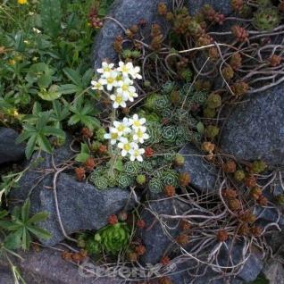 Immergrüner Steinbrech Portae - Saxifraga paniculata - Vorschau