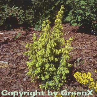 Heidewacholder Schneverdinger Goldmarie 40-60cm - Juniperus communis - Vorschau