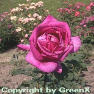 Hochstamm Rose Parole® 60-80cm - Vorschau
