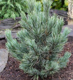Kompakte Blauzirbelkiefer 20-25cm - Pinus cembra - Vorschau