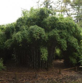 Gigantischer Gartenbambus Jonnys Gigant® 60-80cm - Fargesia murielae - Vorschau