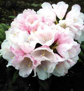 Rhododendron Edelweiß 25-30cm - Alpenrose - Vorschau