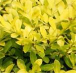 Japanische Stechpalme Ilex Twiggy 20-25cm - Ilex crenata Twiggy - Vorschau