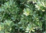 Japan Stechpalme Ilex 40-50cm - Ilex crenata