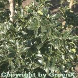 Stechpalme Ilex Heckenstar® 30-40cm - Ilex meserveae