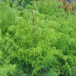 Japanische Sicheltanne Giokomo 30-40cm - Cryptomeria japonica