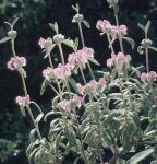 Rosa Brandkraut Bronze Flamingo - Phlomis tuberosa