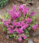 Kriech und Zwerg Rhododendron Select 20-25cm - Rhododendron radistrotum