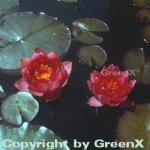 Seerose James Brydon - Nymphaea
