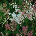 Gefülltblühendes kleines Mädesüß - Filipendula vulgaris