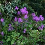 Kanadische Azalee 30-40cm - Rhododendron canadense